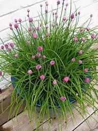 ceapă verde cu flori