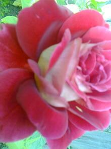 trandafirul meu