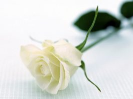 Florentina Loredana Dalian Trandafir alb proză scurtă